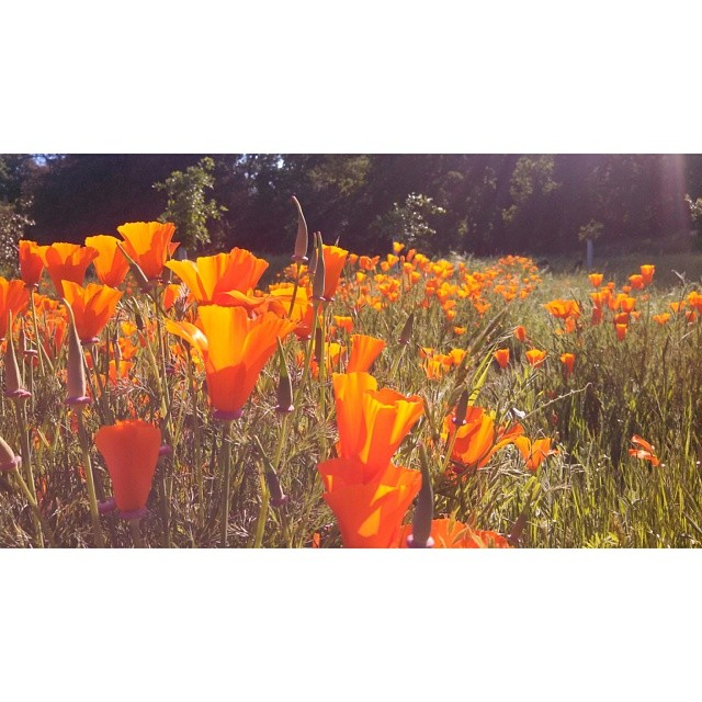 I used a random effect on Retrolux for this photo of bright orange poppies. Then imported the image to #SquareReady. No filter on Instagram to preserve the white border.
