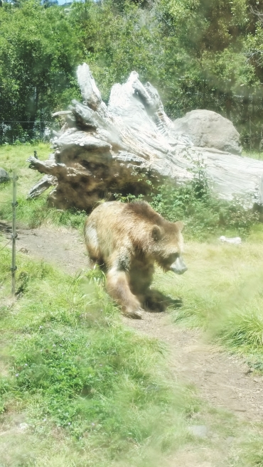 A grizzly bear. California state animal, which is ironically extinct in California itself. These bears were rescued in Wisconsin and brought here.