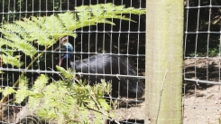 A cassowary, a bird endemic to New Guinea, Australia, and its nearby islands.
