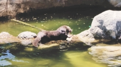...then chewed its tail off. The fish managed to escape WITHOUT A TAIL. Tried to swim away, but it sank. Otter caught it again and continued to chew on it alive. So I guess when JK Rowling made Hermione's Patronus an otter, she knew what she was doing.